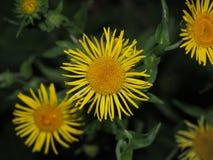 芽种植nard 药用植物 瓣是黄色的 免版税库存图片