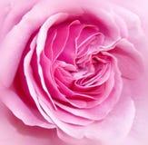 芽粉红色上升了 图库摄影