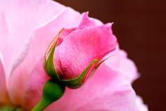 芽粉红色上升了 免版税库存照片