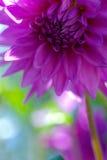 芽紫色大丽花 库存图片