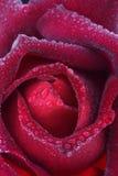 芽红色上升了 库存照片