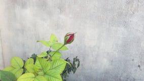 芽红色上升了 免版税库存图片