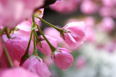 芽花粉红色 免版税库存图片