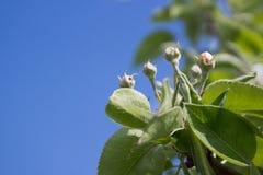 芽洋梨树 库存图片