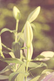 芽lilly,葡萄酒样式。 免版税库存图片