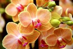 苍白橙色兰花 库存图片