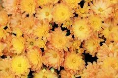 苍白橙色颜色菊花顶视图开花花束 免版税库存图片