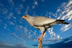 苍白歌颂的苍鹰 免版税图库摄影