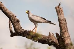 苍白歌颂的苍鹰 免版税库存图片