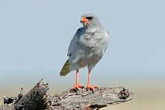 苍白歌颂的苍鹰 免版税库存照片