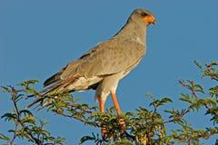 苍白歌颂的苍鹰 库存照片