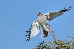 苍白歌颂苍鹰离开 免版税库存图片