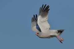 苍白歌颂苍鹰离开 免版税图库摄影