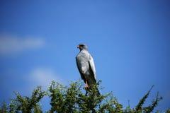 苍白歌颂苍鹰 库存图片