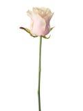 苍白浅粉红色上升了 免版税库存图片