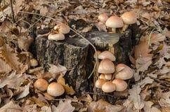 苍白资本蘑菇 库存照片