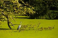 苍鹭、叶子和绿色水 库存图片