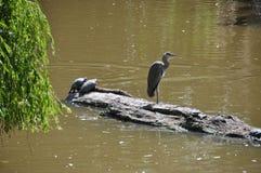 苍鹭和两只乌龟 库存图片