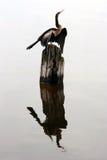 苍鹭和它的反射在水中 免版税库存照片