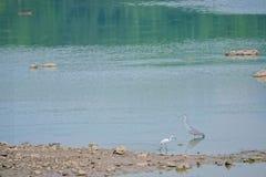 苍鹭和小白鹭 免版税库存图片
