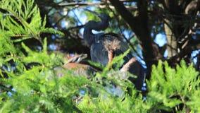 苍鹭和小鸡在鳄鱼农场圣奥斯丁佛罗里达 股票录像