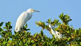 苍鹭和白鹭在树 库存图片
