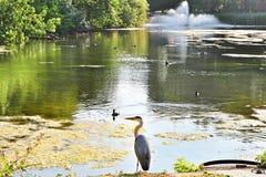苍鹭在圣詹姆斯公园 库存图片