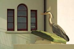 苍鹭在城市 图库摄影
