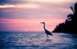 苍鹭在日落的水中 免版税库存图片
