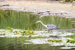 苍鹭在水中 图库摄影