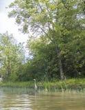 苍鹭在河的鸟渔 库存照片