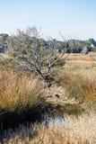 苍鹭在沼泽地沼泽小湾河床上  库存图片