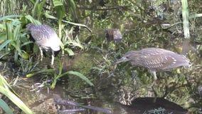 苍鹭在沼泽地 股票视频