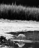 苍鹭在水中 免版税库存照片