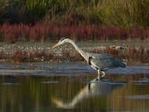 苍鹭捕鱼在沼泽 库存照片