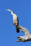 苍鹭收缩的白色 免版税库存图片