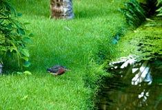 苍鹭池塘。 免版税库存图片