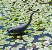 苍鹭渔在池塘 免版税图库摄影