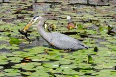 苍鹭渔在池塘 图库摄影