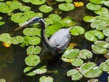 苍鹭渔在池塘 库存图片