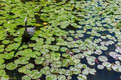 苍鹭渔在池塘 免版税库存照片