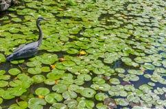 苍鹭渔在池塘 免版税库存图片