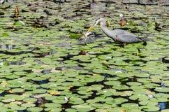 苍鹭渔在池塘 库存照片