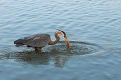 苍鹭渔在黎明 免版税库存照片