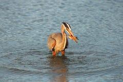苍鹭渔在黎明 库存图片