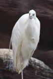 苍鹭白色 免版税库存照片