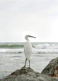 苍鹭白色 免版税图库摄影