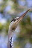 苍鹭的纵向 库存图片