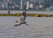 苍鹭的飞行 图库摄影