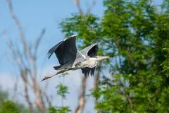 苍鹭飞行在森林里 库存图片
